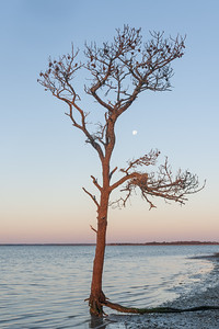 Assateague Tree and Moon