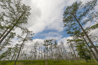 Loblolly Pine Trees - Blackwater National Wildlife Refuge