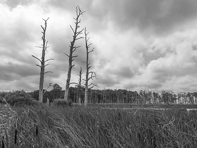 Dead Loblolly Pine Trees - Blackwater National Wildlife Refuge