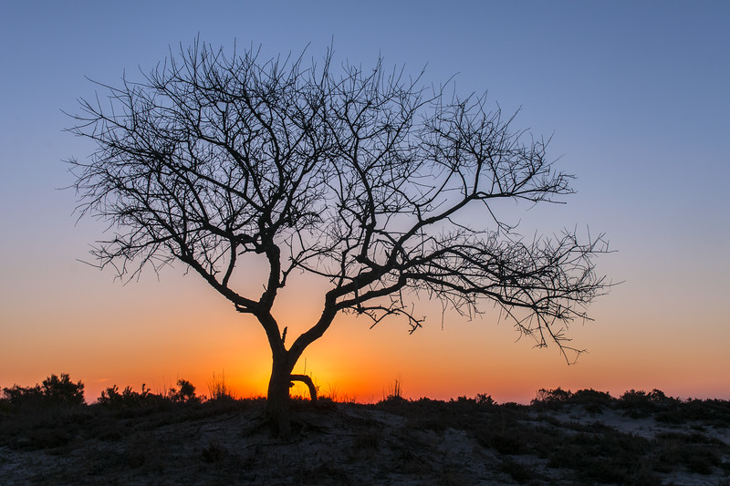 Barrier Island Tree - Assateague Island Sunset