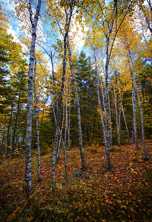 Aspen Trees - Acadia National Park