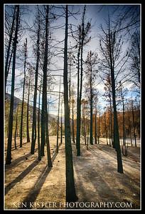 Tall Charred Trees