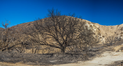 Dying Tree in Burned Canyon
