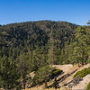 Southern California Pine Trees