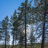 Tall Pine Tree Silhouette