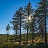 Silhouette Pine Tree Panorama