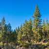 Pine Forest in San Gabriels