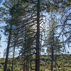 Tall Silhouetted Pine Tree