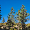Pines on Mountain Ridge