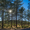 Clump of Mountain Pine Trees