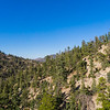 Pine Trees in San Gabriel Mountains