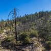 Burned Trees on Mountainside
