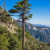 Tall Dying Pine Tree