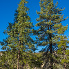 Twin Pine Trees in Forest