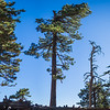Line of Pine Trees Panorama