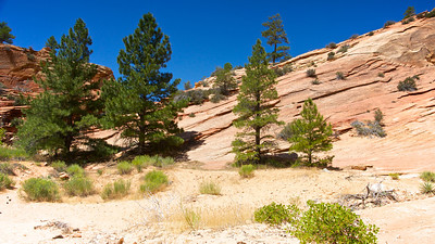 Pines Along Zion Trail