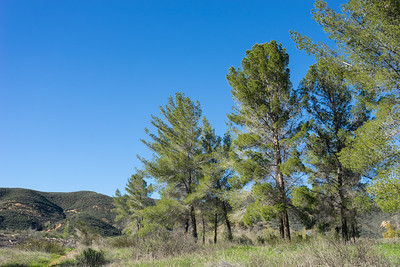 Clump of California Pines