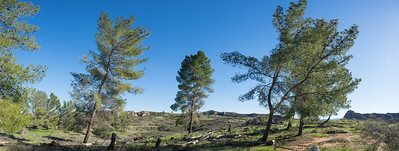 Panorama of Wind Blown Trees