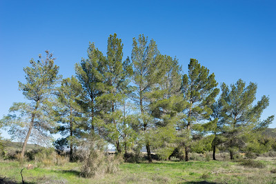 Line of Green Pine Trees