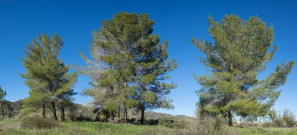 Line of California Pine Trees
