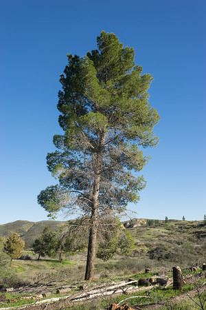 Tall California Meadow Pine