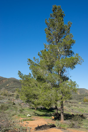 Green Pine in California Hills