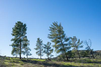 Leaning Pine Trees