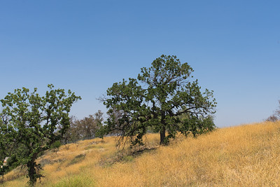 Cluster of Oak Trees
