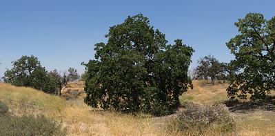 Hilltop Oak Trees