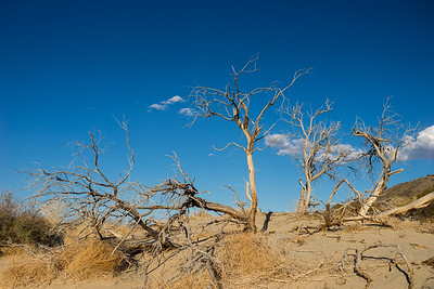 Cluster of Dead Desert Trees