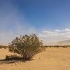 Creosote Bush in Desert Wind