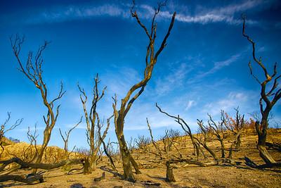 Burned Trunks of Many Trees