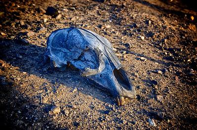 Mountain Lion Skull Closeup