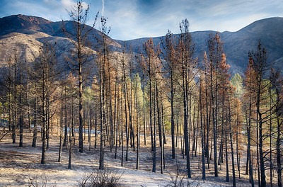 Clump of Burned Pines