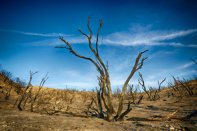 Charred Trunks of Forest Fire