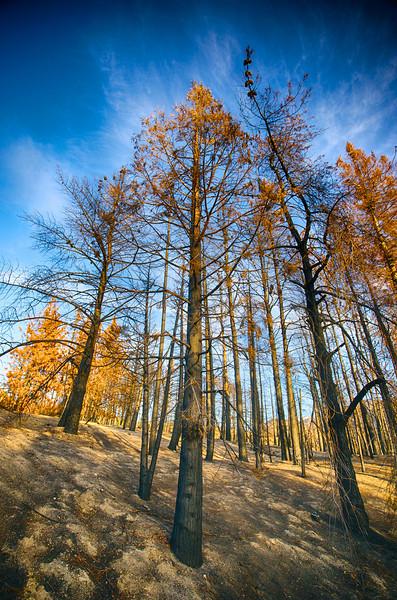 Burned Pine Trees
