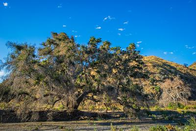 Oak Tree in California Canyon