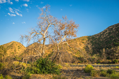 Tree in California Valley