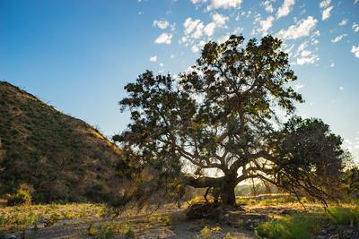 California Valley Oak Tree