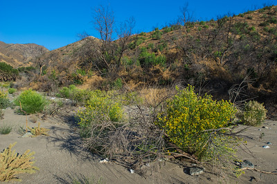 Yellow Flowering in Desert Sand