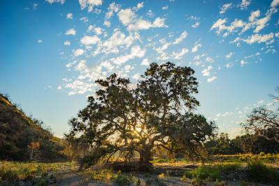Sun Light in Oak Tree