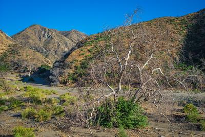 Tree Brush in California Canyon