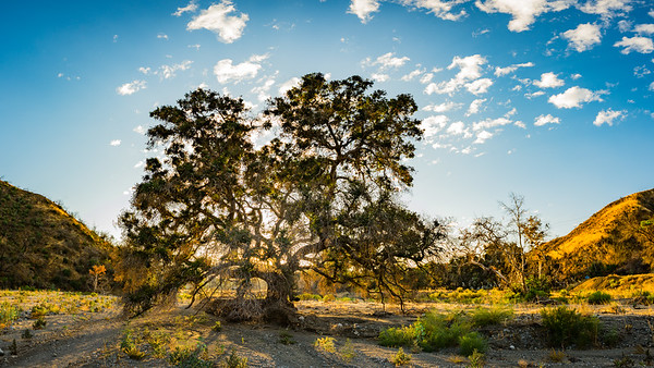 Oak Tree Panorama