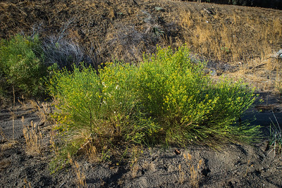 Yellow Flowering Desert Bush