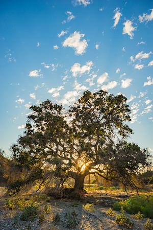 Sun Silhouette Oak Tree