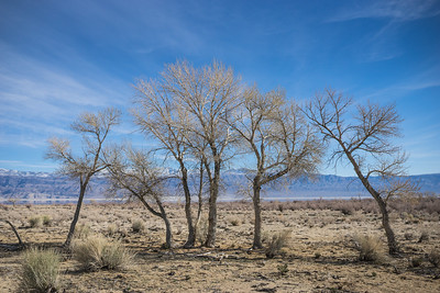 Line of Desert Trees