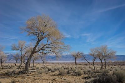 Leaning Desert Tree