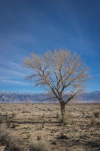Single Desert Tree
