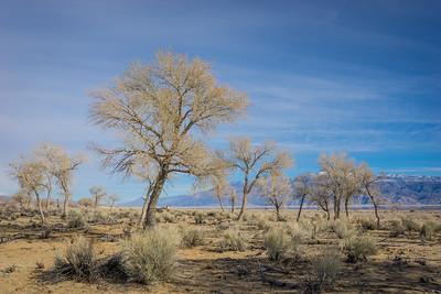 Desert Trees on Grassland