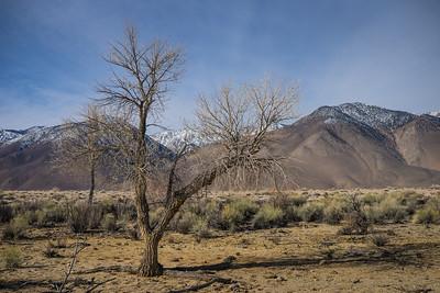 Dead Tree in Desert Grassland